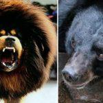 Китаец купил на дороге щенка, а через два года выяснил, что это черный медведь