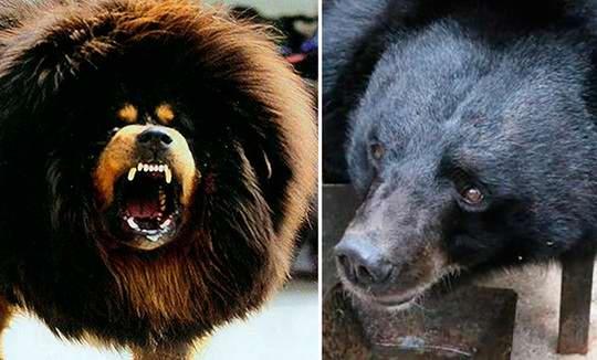 Cу Му, проживающий в одной в деревне Сумо округе Йилянь, искренне не замечал, что у него дома растет не собака, а медведь.