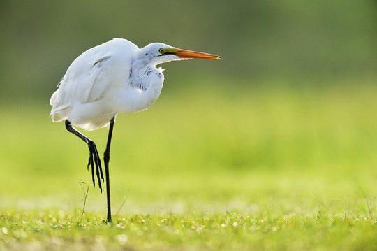 Цапля охотится на водных животных, стоя долго и неподвижно в водоеме.