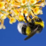 Делают ли шмели мед?