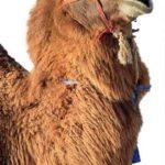 Зачем верблюд плюется?