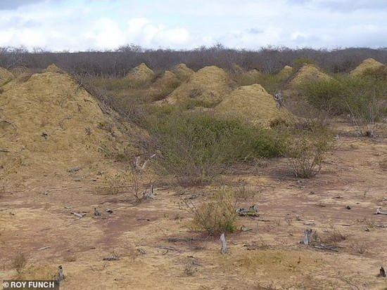 Термитники и прорытые белыми муравьями тоннели до сих пор используются другими насекомыми и мелкими животными в качестве жилья.