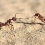 Где живут муравьи, которые умеют считать количество пройденных шагов?