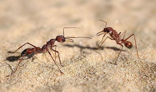 Фаэтончик красный — это вид обитающих в Сахаре муравьёв, кормящихся умершими от жары другими насекомыми.