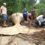 В бразильских джунглях обнаружили 8-метрового горбатого кита