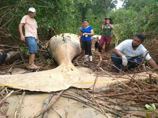 Неожиданную находку сделали сотрудники неправительственной организации Bicho D'água на острове Маражо