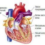 Почему биение сердца состоит из парных ударов?