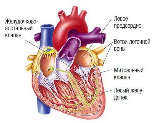 Эти звуки, порождаются работой разных отделов сердца и разных клапанов.
