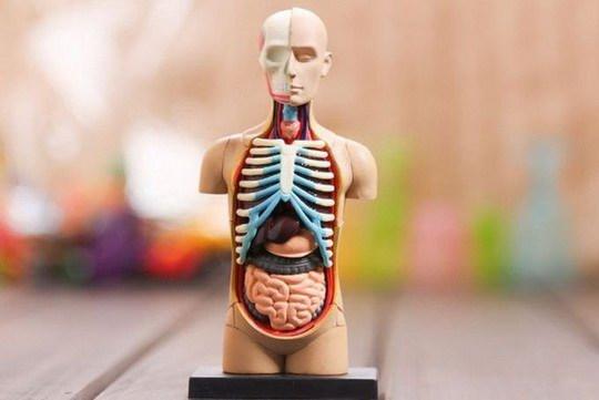 Медицина всего мира, испытывает острую нехватку донорских органов.