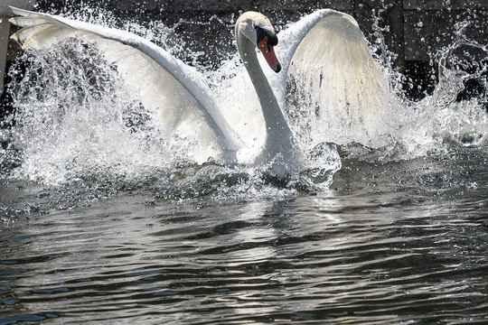 Все обитающие в реках и озерах Великобритании лебеди действительно принадлежат монарху.