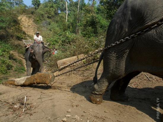 Надсмотрщик наблюдает за своим слоном, когда другой тянет тяжелое бревно с холма.