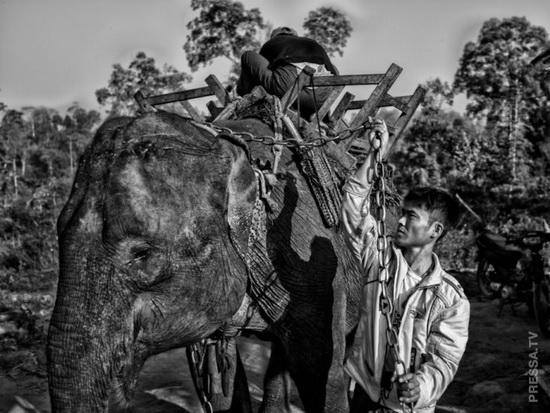 Двое работников готовят упряжь на слоне