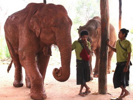 С 2011 года лагерь Green Hill Valley предлагает убежище для отставных и раненых слонов.