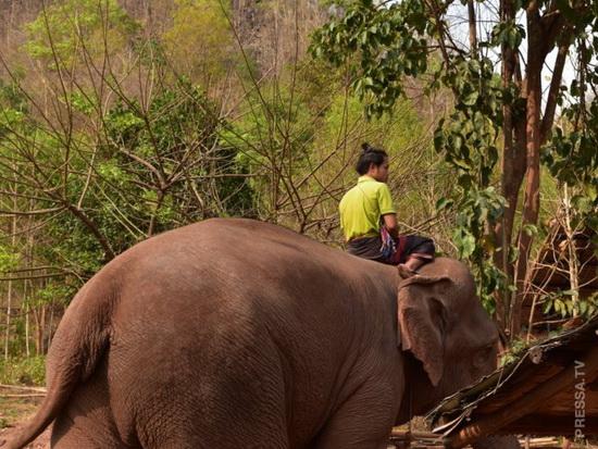 Многие mahouts из племени Kayin, этнической группы примерно от 2 до 5 миллионов человек, которые традиционно родом из юго-восточной части Мьянмы.