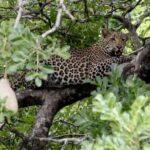 Леопард в национальном парке «Крюгер» в ЮАР убил двухлетнего ребенка