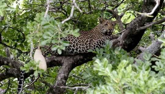 """Двухлетний мальчик стал жертвой нападения леопарда в национальном парке """"Крюгер"""" в Южной Африке."""