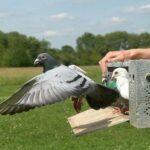 Как почтовый голубь находит дорогу домой?