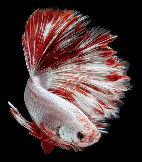 Не нужно забывать, что домашние рыбки произошли от диких.