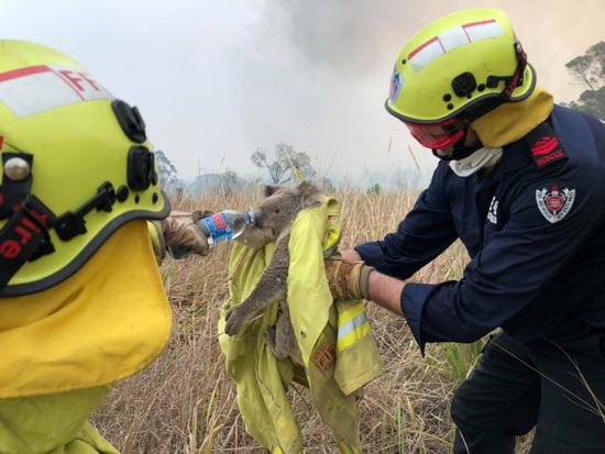 Пожарные и спасатели дают воду коале, спасенной от пожара в штате Новый Южный Уэльс в ноябре.