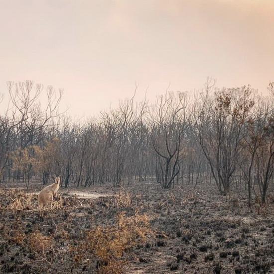 Кенгуру стоит на обугленной растительности после лесного пожара в мысе Уоллаби, Новый Южный Уэльс.