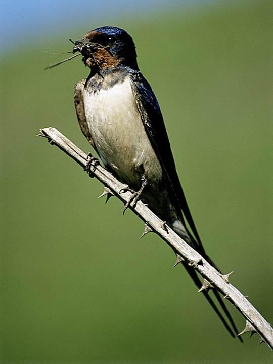 Собирать добычу с земли, деревьев или со стен ласточка не умеет, поэтому охотится в полете