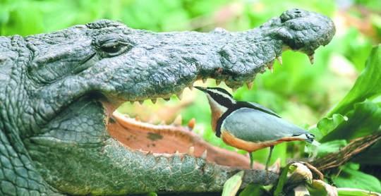 Со времён античности, известна легенда о симбиотических отношениях крокодилов с некоторыми птичками