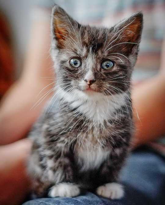 Топтание связано с удовольствием — кошки «месят» лапами, когда их ласкают или когда они требуют ласки