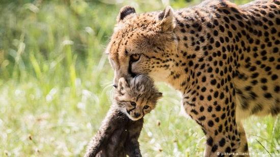 Гепарды известны человеку с незапамятных времен, но до сих пор эти животные полны загадок.