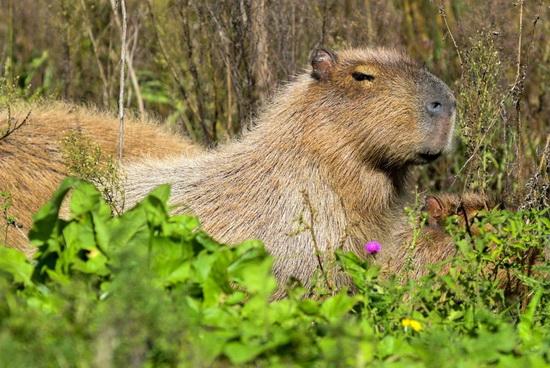 Капибара — самый крупный среди современных грызунов