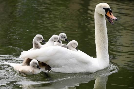 Лебединая семья в Страсбурге. (Фото Frederick Florin)