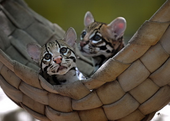 арочка оцелотов зоопарке в Альбукерке, США. (Фото Jim Thompson/)