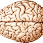 Рождаются ли люди без мозга?