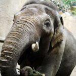 Где жил слон, умевший подражать человеческой речи и материться?