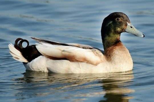 Если посадить птицу в емкость с водой и добавить туда моющее средство, то оно растворит жировую пленку на перьях, перья намокнут и утка утонет.