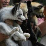 Где и когда были одомашнены лисицы?