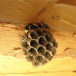 Из чего осы делают гнезда?