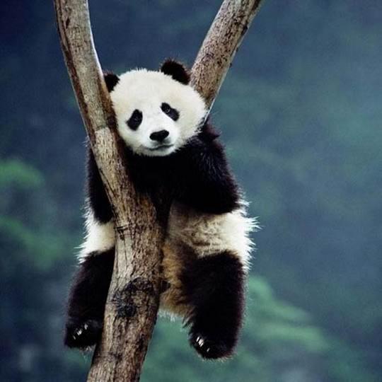 """В китайских зоопарках и заповедниках """"пандоняни"""" обязаны всегда находиться возле панд"""