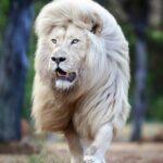 Мойя: самый красивый белый лев в мире