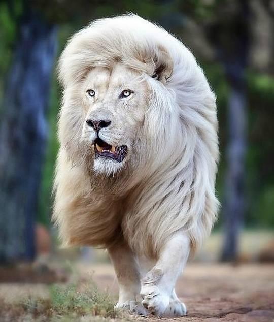 Британский фотограф Саймон Нидхэм искренне радуется, как малый ребенок, что ему удалось не просто повидаться со львом по имени Мойя, но и «уговорить» того позировать для съемки.