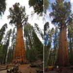 Есть ли предел высоте деревьев?