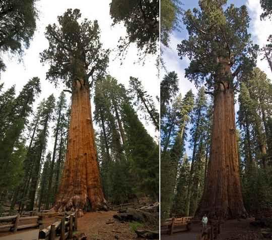 Оказывается, даже у самого высокого в мире дерева — гигантской калифорнийской секвойи — есть свой «потолок» роста.