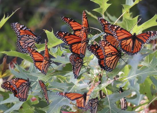 Monarch butterflies roosting in Port Louisa National Wildlife Refuge, Iowa. (USFWS Midwest Region via Flickr)