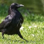Почему хищники  не едят мясо ворон?
