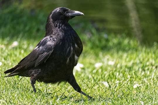Пернатые хищники охотятся на ворон и поедают их.