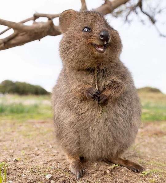 Квокка, небольшой короткохвостый кенгуру размером с домашнюю кошку.
