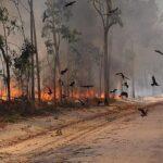Какие птицы умеют распространять лесные пожары?