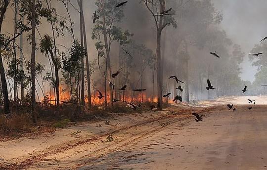 Хищные птицы часто обращают себе на пользу лесные пожары, подкарауливая выбегающую из зарослей жертву.