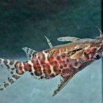 Какие рыбы приспособились к жизни кверху брюхом?