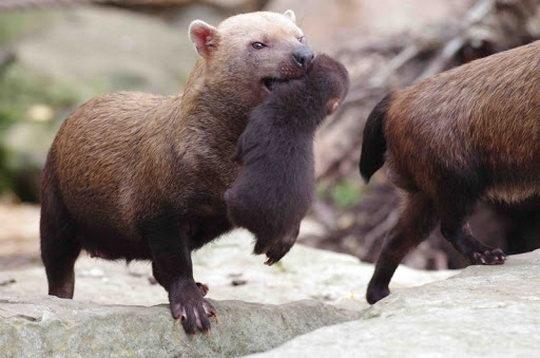 Один из видов семейства псовых, обитающий в Центральной и Южной Америке, называется кустарниковой собакой