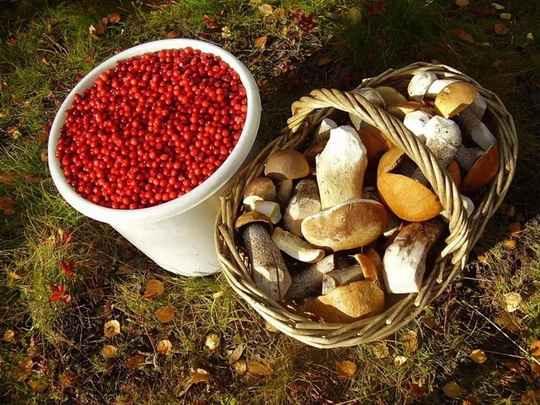 """Россияне могут собирать грибы и ягоды везде в случае, если иные правила не содержатся в местных законах, сообщает """"Парламентская газета""""."""